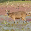 Sambar deer (female)