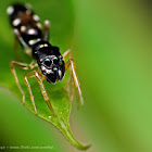 Ant-mimic jumping spider (black)