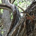 Osage Orange, Horseapple, or Bois d'Arc Tree