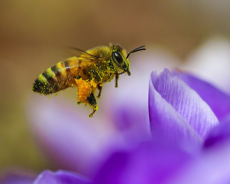 A Member of Poll-E-Nation  by Roberta Janik - Animals Insects & Spiders ( bee, pollenation, crocus, flying insect, insect, spring, bee flying )