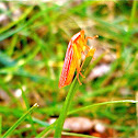 Leafhopper, female