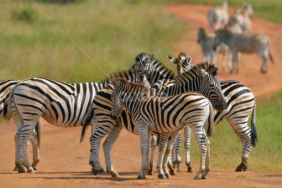 Team Talk by Tobie Oosthuizen - Animals Other Mammals ( animals, wildlife, zebra )