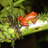 Strawberry Poison Dart-frog