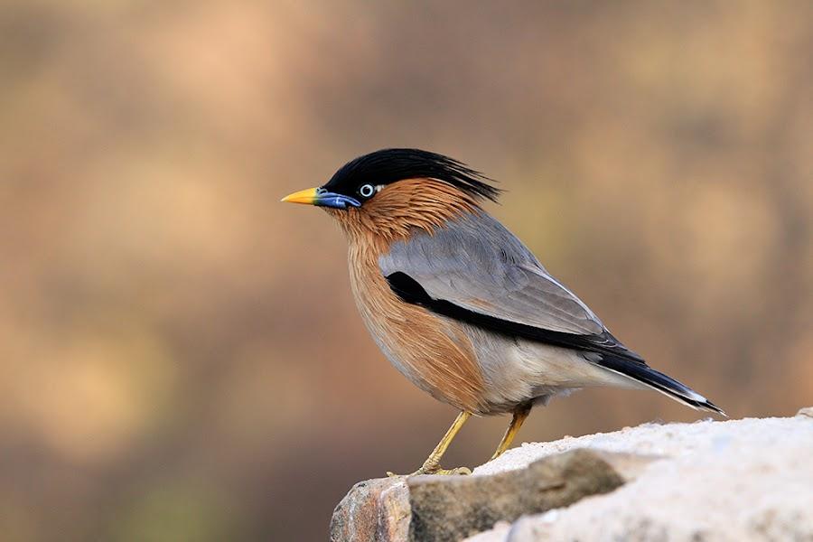 Bird... by Ramakant Sharda - Animals Birds ( bird, brown, birds )