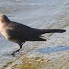 Brewer's Blackbird (female)