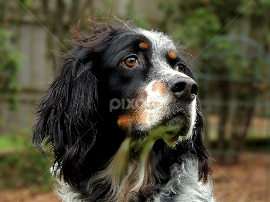 Radar by Sydney Badeau - Animals - Dogs Portraits ( white, trees, setter, brown, dog, english, outside, black )