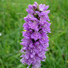 Orquídea. Common Spotted Orchid