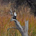 African fish-eagle (juvenile)