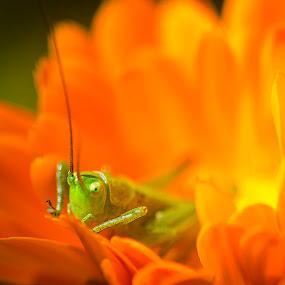 grasshopper by Andrej Folo - Uncategorized All Uncategorized ( orange, macro, nature, petals, green, yelow, insect, close up, flower, grasshopper, eye, , noordhoek, south africa, noordhoekchallenge )