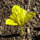 Danford Iris