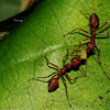 Weaver ants and an aphid