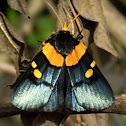 African Peach Moth