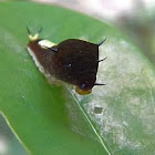 green-spotted triangle caterpillar