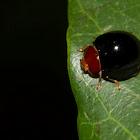 Unknown Ladybird Beetle