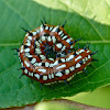 Variegated fritillary (caterpillar)