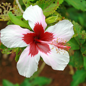 HIBISCUS by Bill Waterman - Flowers Flowers in the Wild ( hibiscus, tropical, landscape, flower, hawaii )