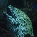 Tessellata Moray Eel