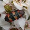 Jewel Beetle -1