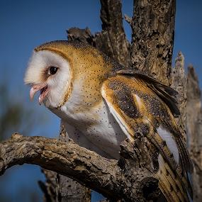 Barn Owl by Ed Mullins - Animals Birds ( bird, desert museum, asdm, barn owl, owl, arizona sonora desert museum,  )