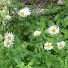 Sub-Alpine Daisy