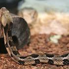 Eastern Timber Rattle Snake
