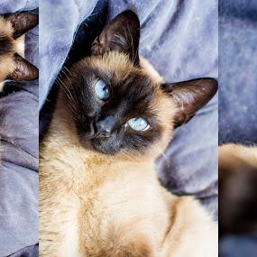Siames by Evita Ewii - Digital Art Animals ( cat, blue eyes, siamese cat, sleep, siamese,  )