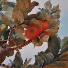Mottlecah ( Eucalyptus)