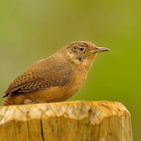 Corruira by Thiago Silva - Animals Birds ( bird, aves, birds, ave )