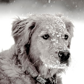 Missy in Black and White by Kimberly Davidson - Animals - Dogs Portraits ( retrievers, dogs, winter, black and white, portraits, golden retriever,  )