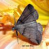 Variable Fan-Foot Moth
