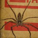 Giant crab spider (huntsman)
