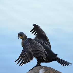 I'll Flex For You by Ed Hanson - Animals Birds ( bird, water, wings, rock, black )