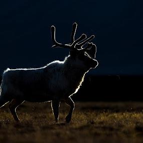 Midnight walk by Jonas Petersen - Animals Other Mammals ( canon, reindeer, rensdyr, wildlifephotography, wildlife, photography, mammal, norway, dyr, pattedyr, norge, svalbard, light, animal, air, transport )