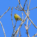 The European Greenfinch