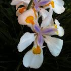 Morea iris