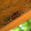 Ant / Mrav
