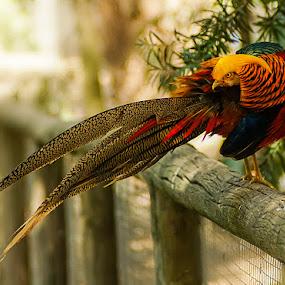 Red Golden Pheasant by Zdenka Rosecka - Animals Birds (  )