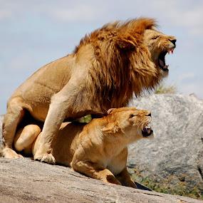 The Moment by DJ Cockburn - Animals Lions, Tigers & Big Cats ( grassland, savannah, skyline, panthera leo, serengeti, pair, couple, plains, lions, mating, africa, tanzania,  )