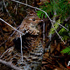 Western Capercaillie Female