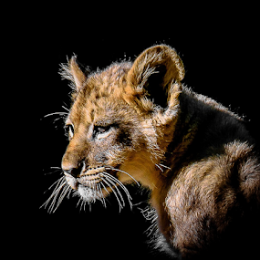 Lion cub by Gregg Pratt - Animals Lions, Tigers & Big Cats ( lion )