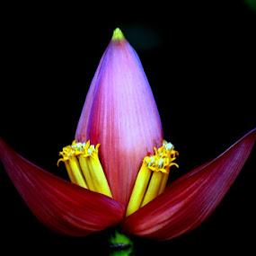 Ornamental bananas by Syafriadi S Yatim - Flowers Tree Blossoms ( #photography #macro #beautyful )