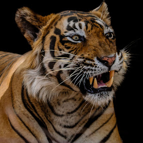 Don't mess up with me  by Avtar Singh - Animals Lions, Tigers & Big Cats ( male tiger, avtar singh, tiger teeth, aggressive mood )