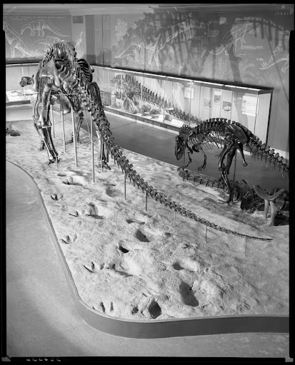 Dinosaur tracks and skeletons, Brontosaurus Hall, 1953