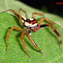 Two-striped Jumping Spider (Male)