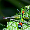 Clown Grasshopper