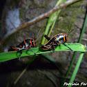 Lubber Grasshopper nymphs