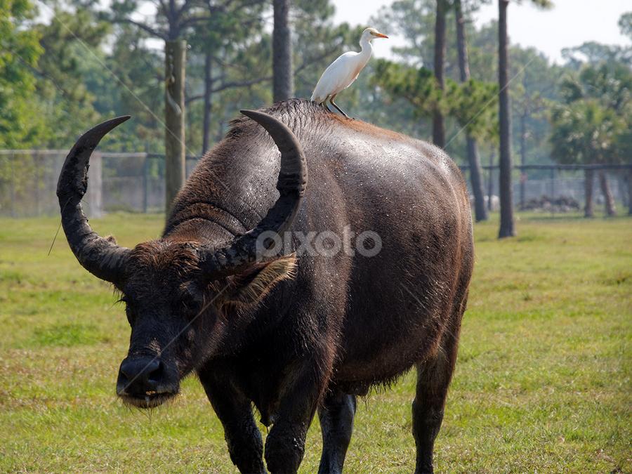 Ankole-Watusi Bull with hitchhiker | Other Mammals | Animals