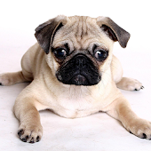 Watch Cute Pug Videos