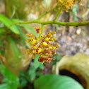 Pomatocalpa orchid