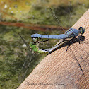 (Mating) Western Pondhawk